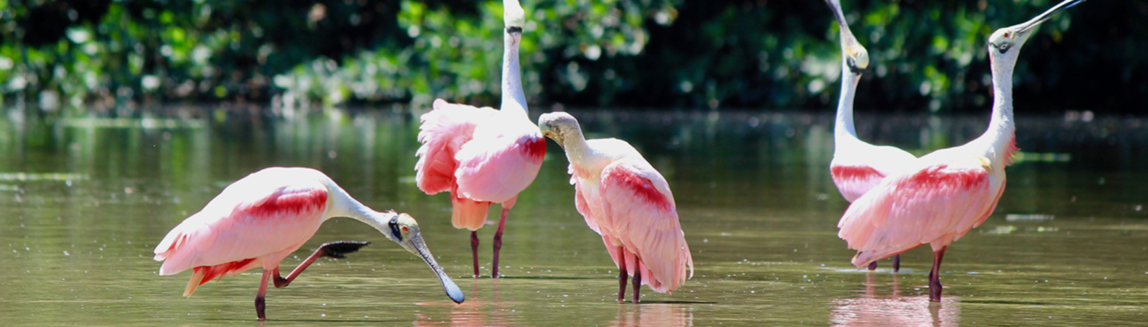 Photo of 4 spoonbills in shallow water