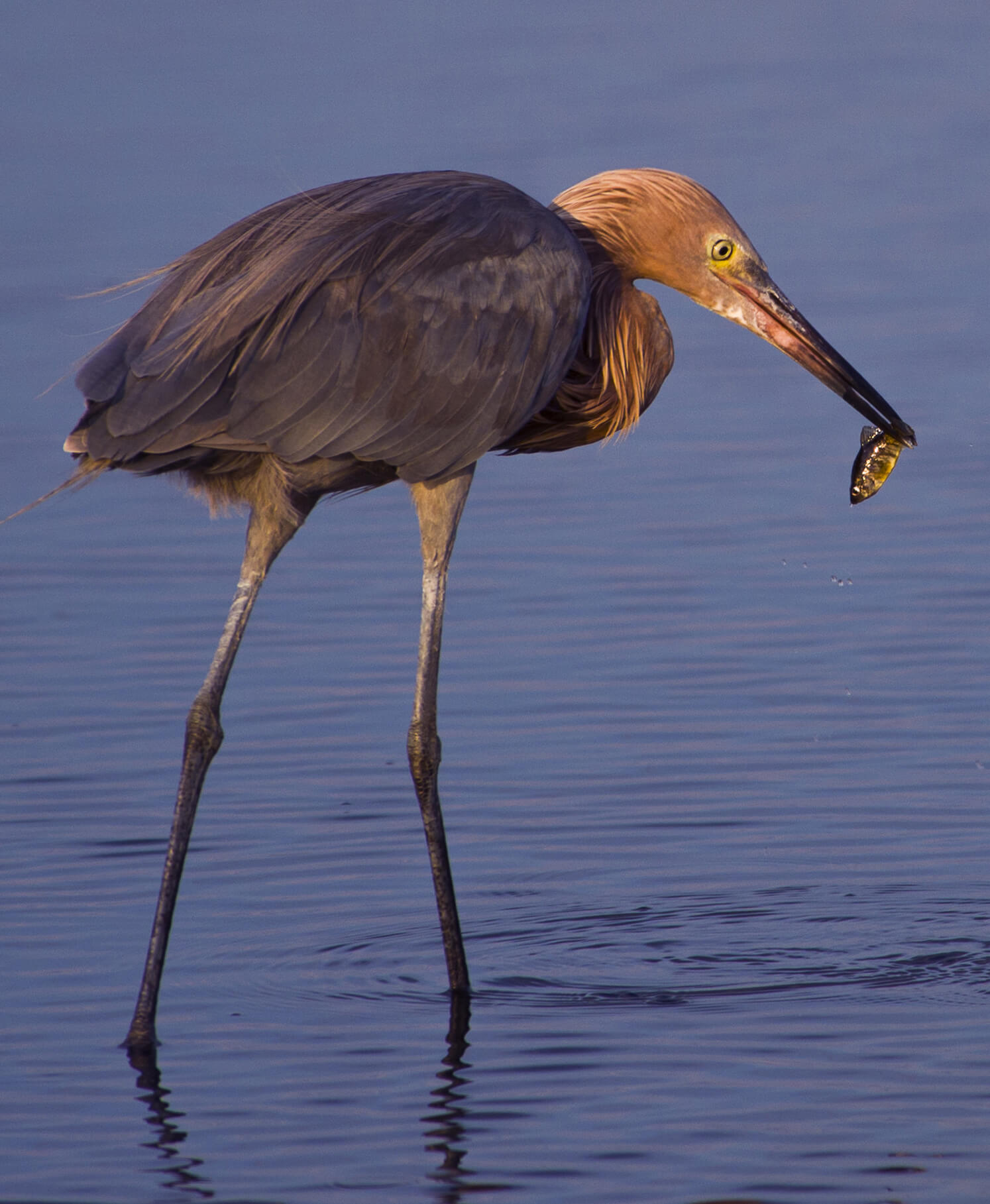 reddish egret with a fish in his beak