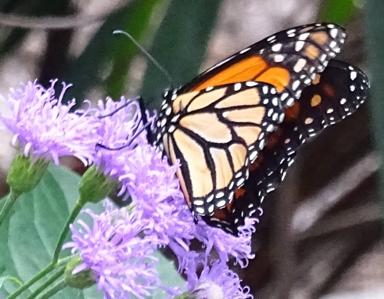 closeup photo of a monarch butterfly on a small tree limb