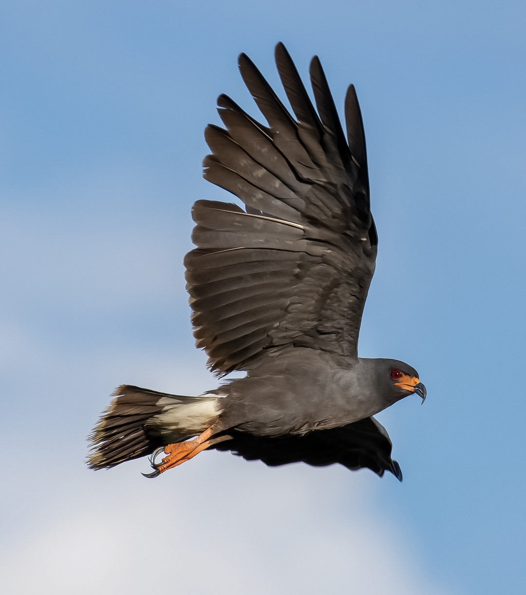 photo of a snail kite flying in a blue sky