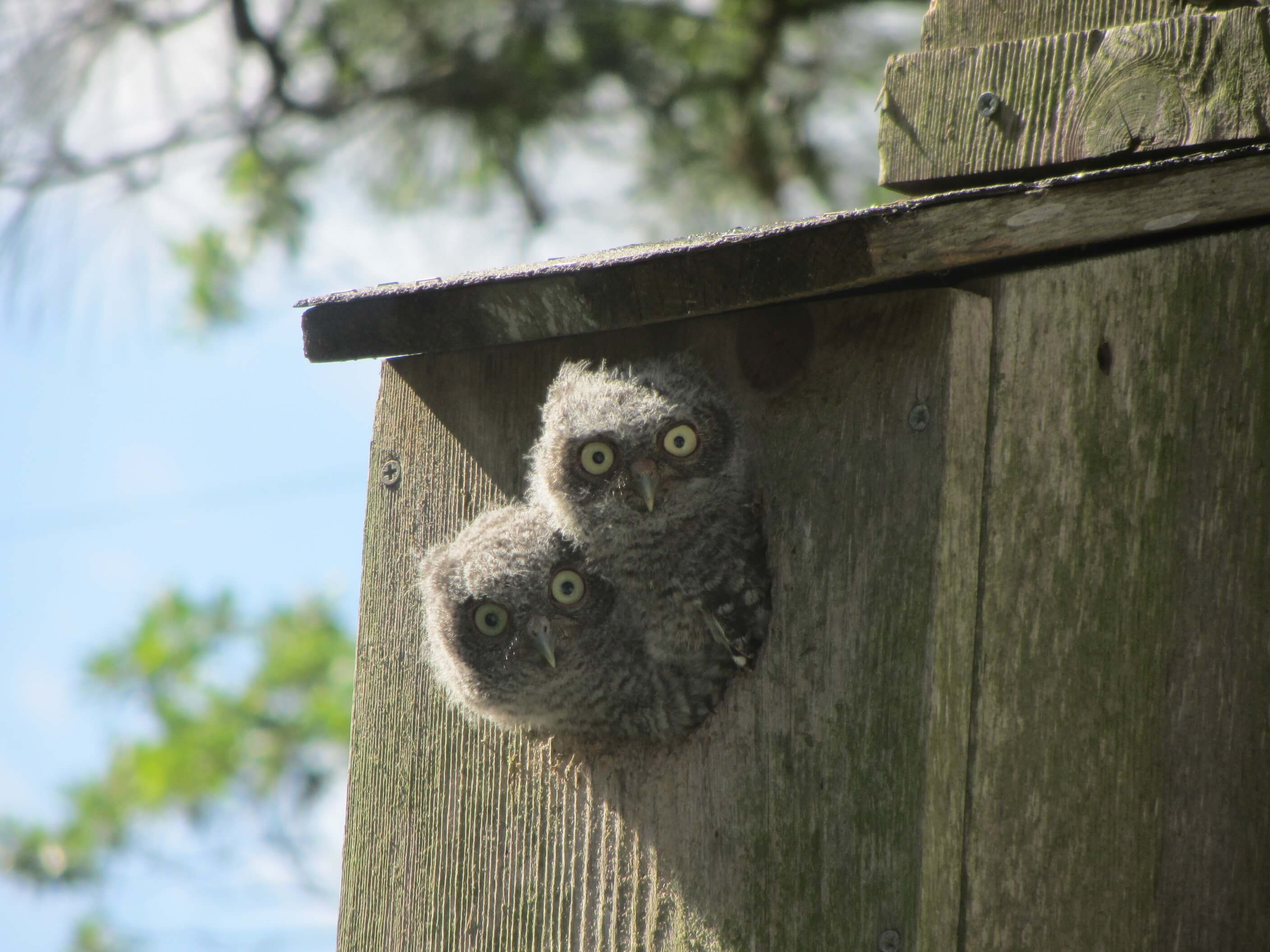 photo of two baby owls poking their heads out of a bird house