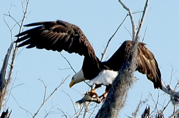 photo of a bald eagle in a tree wings spread wide