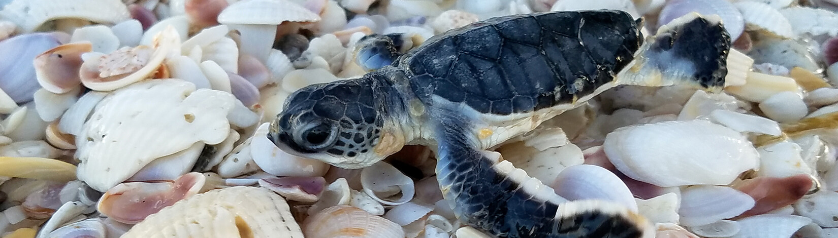 photo of a baby sea turtle with sea shells in the background