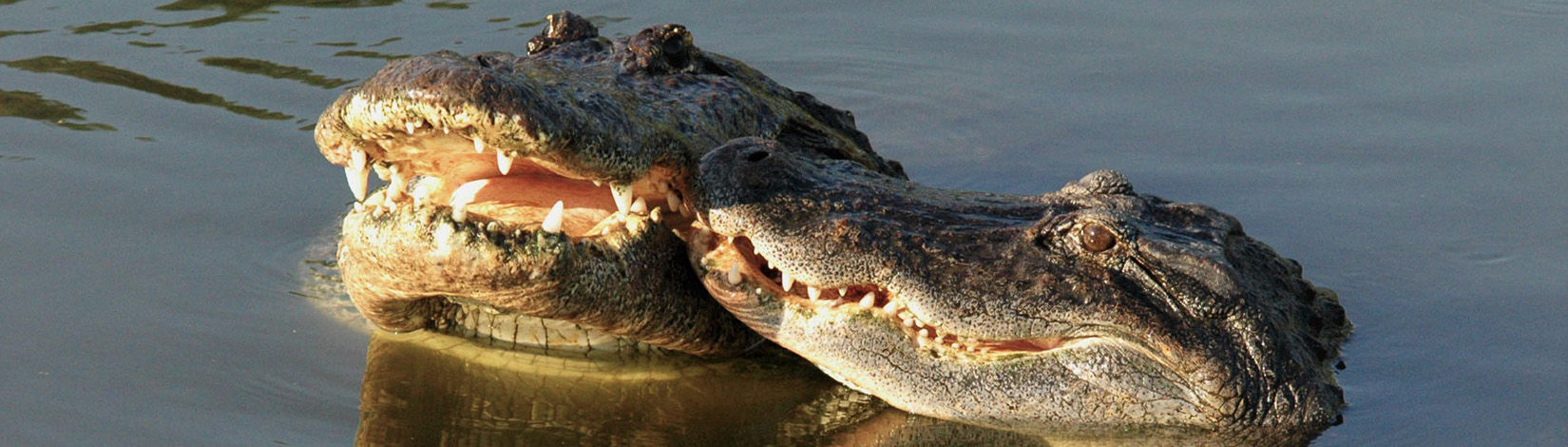 Photo of two alligator heads with noses touching